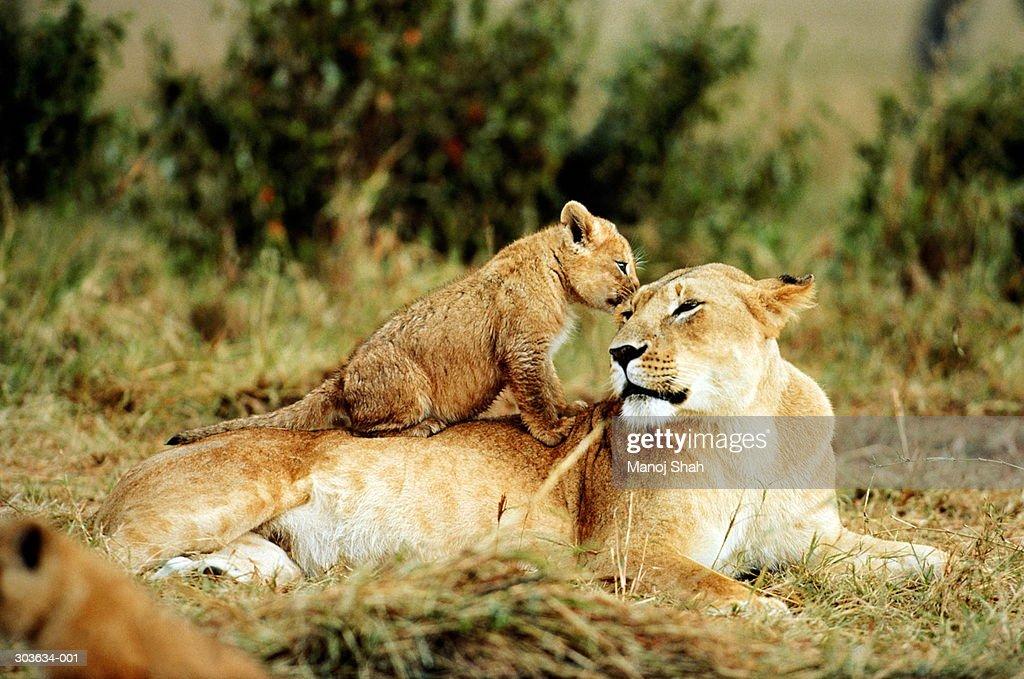 Kenya,Maasai Mara,lioness with cub sitting on her back : Stock Photo