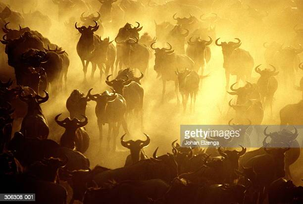 Kenya,Masai Mara,herd of stampeding wildebeest surrounded by dust clou
