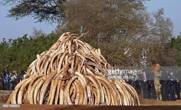 Kenyan President Uhuru Kenyatta holds a burning torch as he prepares to burn a pile of 15 tonnes of elephant ivory seized in kenya in Nairobi...