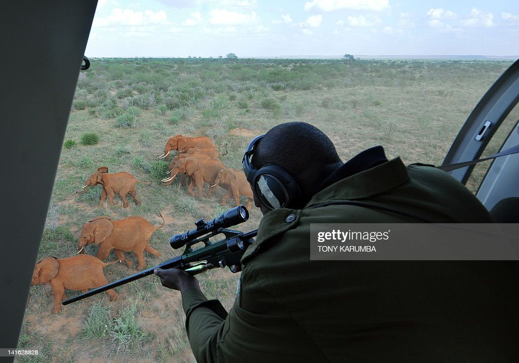 A Kenyan Wildlife Services, KWS, veterinarian prepares to shoot a tranquilizer dart into an Elephant at the Tsavo-east National park on March 19, 2012 during the second phase of a collaring excercise funded by International Fund for Animal Welfare, IFAW, and the Kenya Wildlife Services, KWS, in the wake of a dramatic increase in Elephant killings for their prized tusks. Kenya's estimated 30,000 population of Elephants has come under growing risk as reported incidences of poaching from all over the country continue to mount despite governmental efforts supplements by international wildlife agencies. AFP PHOTO / Tony KARUMBA
