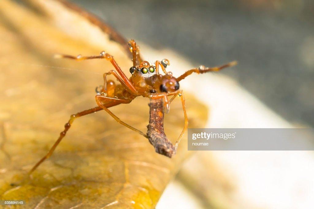 Kerengga ant like jumper : Stock Photo