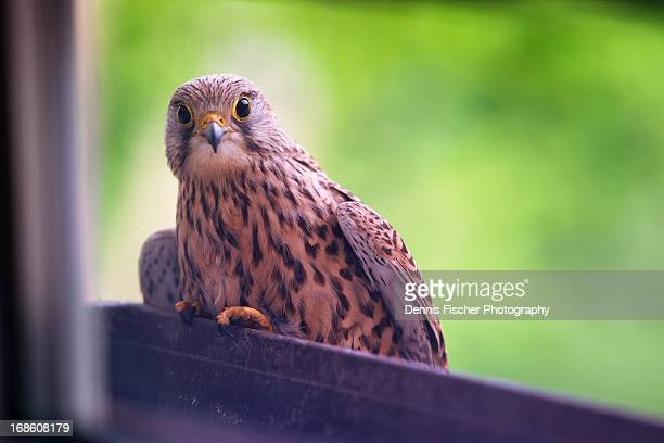 kestrel looking