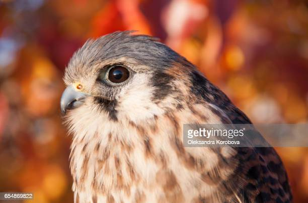Kestrel portrait with fall leaves in the background.
