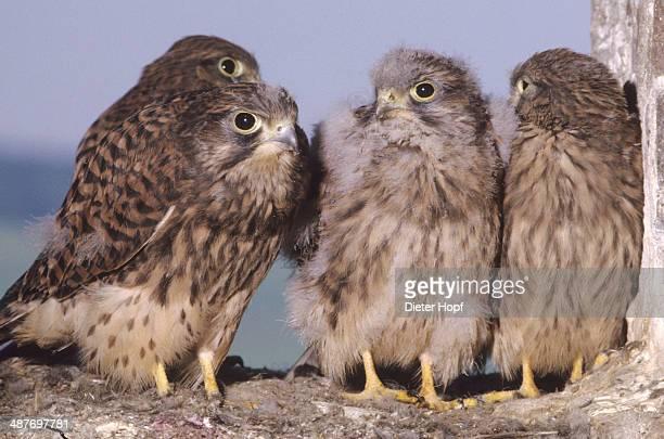Kestrels -Falco tinnunculus-, nearly fledged young falcons, Allgaeu, Bavaria, Germany