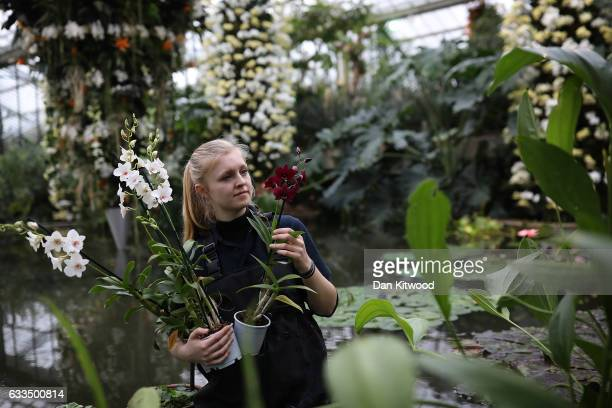 Kew Diplomatic Student Ailsa Kemp poses while completing an Orchid display in the Princess of Wales Conservatory at the Royal Botanic Gardens Kew on...