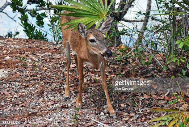 A Key deer appears at the National Key Deer Refuge on Big Pine Key Fla in a 2011 file image On Wednesday April 12 US Fish and Wildlife officials...