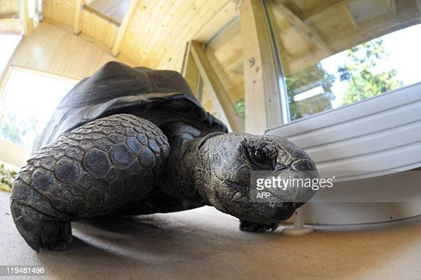 A 168 kg giant tortoise from the Seychelles born in 1967 named Tom arrives in its new home at the Mulhouse Zoo after spending seven years at the...