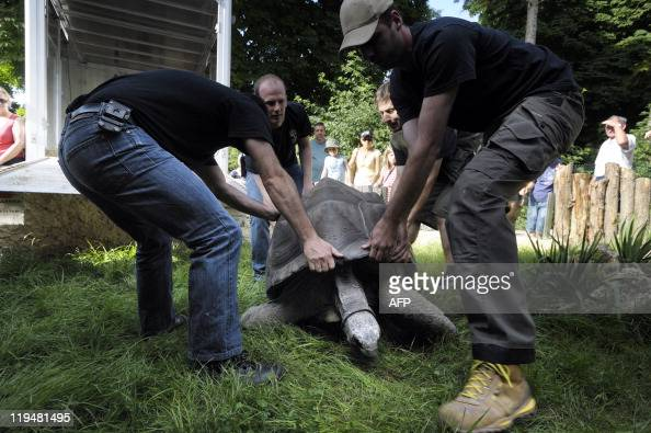 A 168 kg giant tortoise from the Seychelles born in 1967 named Tom is carried in its new home at the Mulhouse Zoo after spending seven years at the...