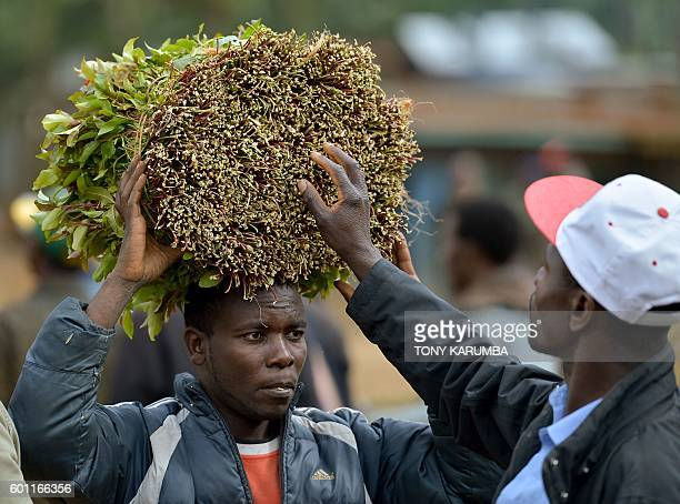 A khat farmer carries his khat harvest at a local open air market at Maua in Meru county on September 9 2016 in Kenya's central province Farmer of...