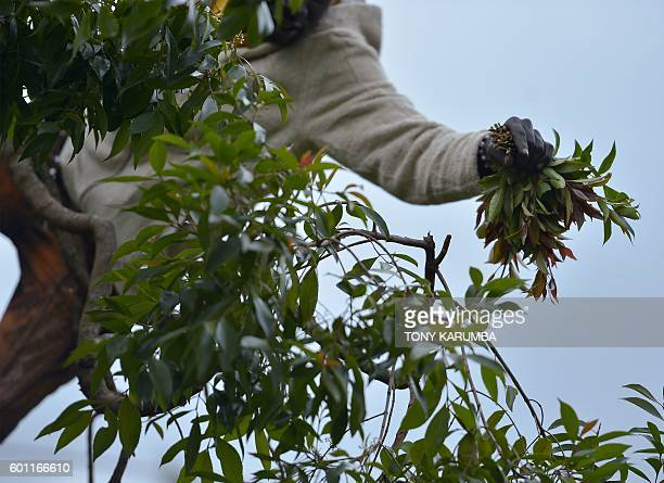 A khat farmer harvests shoots of khat at his farm in Maua in Meru county on September 9 2016 in Kenya's central province Farmer of the mildstimulant...