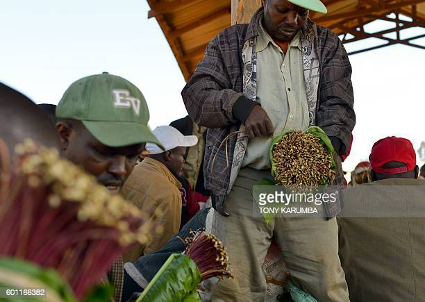 Khat traders package shoots for transportation at an open air market in Maua in Meru county on September 9 2016 in Kenya's central province Farmer of...