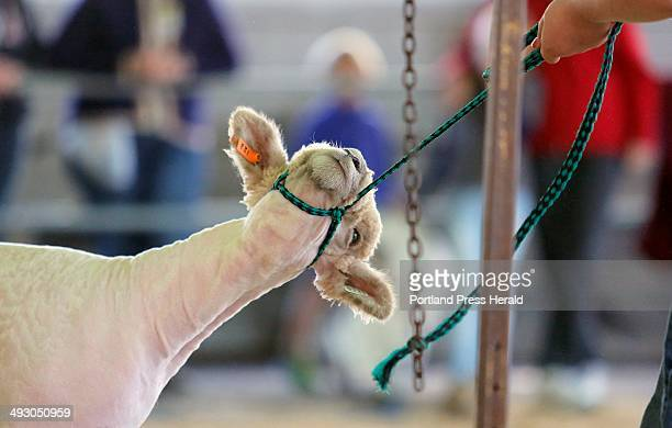 Kia the sheep resists the insistence of her owner Lauren Pride to step onto a shearing stand while competing in the 4H Sheep Obstacle Course at the...