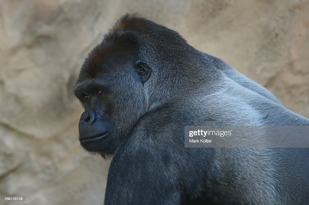 Kibali the father of newborn male baby gorilla is seen as he watches on in the Western Lowland Gorilla enclosure at Taronga Zoo on October 31 2014 in...