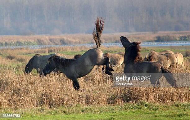 Kickass Konik Horses
