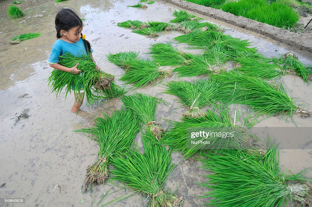 "A Kid carry rice sapling for plantation during the celebration of National Paddy Day ""ASHAD 15"" Rice Plantation at Chapagaun, Patan, Nepal on June 29, 2016. Nepalese people celebrates Rice Plantation (National Paddy Day) Celebration on ""ASHAD 15"" (Nepali Calendar Date). Nationwide by planting rice, playing on mud and eating curd and beaten rice in the rice field. Due to the less rainfall on monsoon season, Most of the people Plants Rice by pumping water from nearer water source."