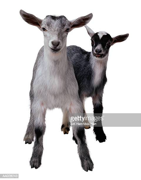 Kid Goat and Mother Goat