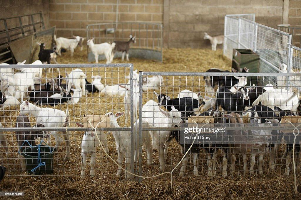 kid goats : Stock Photo