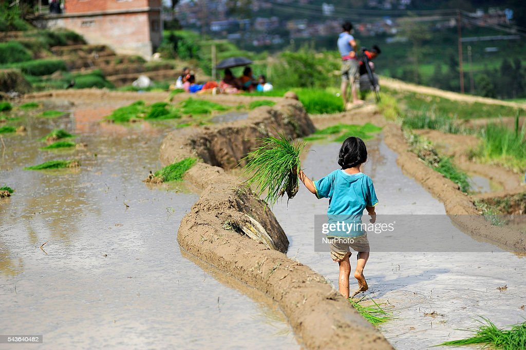 "A kid run for the plantation during the celebration of National Paddy Day ""ASHAD 15"" Rice Plantation at Chapagaun, Patan, Nepal on June 29, 2016. Nepalese people celebrates Rice Plantation (National Paddy Day) Celebration on ""ASHAD 15"" (Nepali Calendar Date). Nationwide by planting rice, playing on mud and eating curd and beaten rice in the rice field. Due to the less rainfall on monsoon season, Most of the people Plants Rice by pumping water from nearer water source."