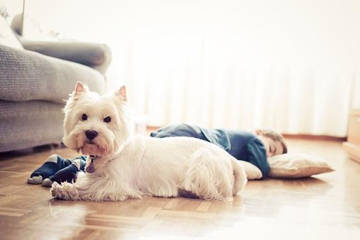 Kid sleeping on the floor and his westie puppy