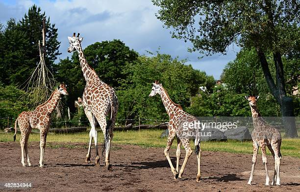 Kidepo Chester Zoo's newest baby giraffe steps out for the first time with his mother Orla half brother Sanyu and half sister Zahra as the zoo show...
