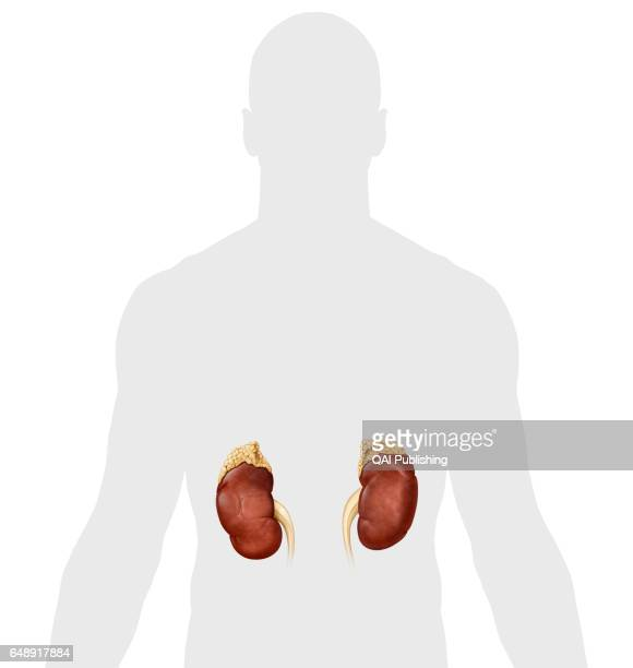 Kidney Each of two organs in the abdomen whose main function is to produce urine it also secretes renin that regulates blood pressure