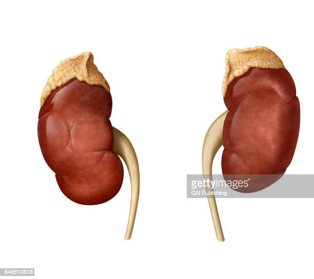 filter blood and secrete urine to eliminate toxins and waste from the body Adrenal gland it secretes various hormones including steroids