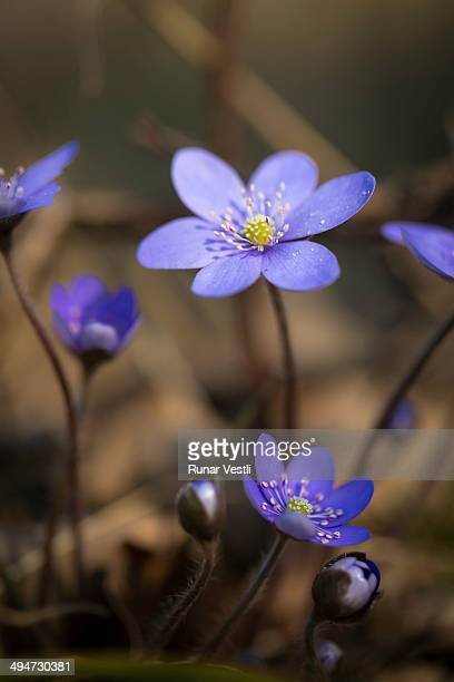 Kidneywort ( Anemone hepatica)