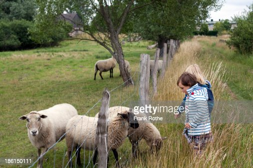 kids friends feeding sheep on the fence