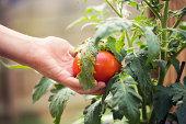 Kids hand picking a tomato