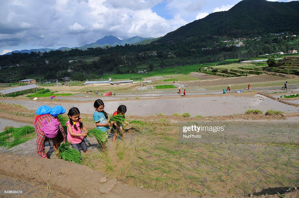 "Kids trying to plant rice along with her relatives during the celebration of National Paddy Day ""ASHAD 15"" Rice Plantation at Chapagaun, Patan, Nepal on June 29, 2016. Nepalese people celebrates Rice Plantation (National Paddy Day) Celebration on ""ASHAD 15"" (Nepali Calendar Date). Nationwide by planting rice, playing on mud and eating curd and beaten rice in the rice field. Due to the less rainfall on monsoon season, Most of the people Plants Rice by pumping water from nearer water source."