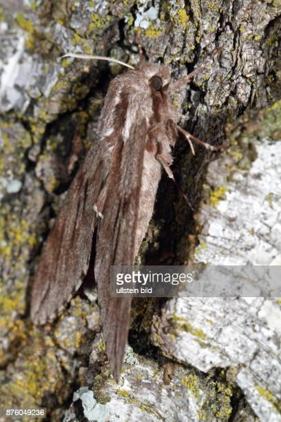 Kiefernschwaermer Falter an Baumstamm sitzend seitlich rechts sehend