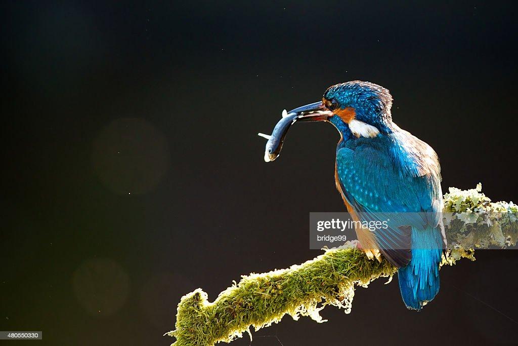 kigfisher : Foto de stock