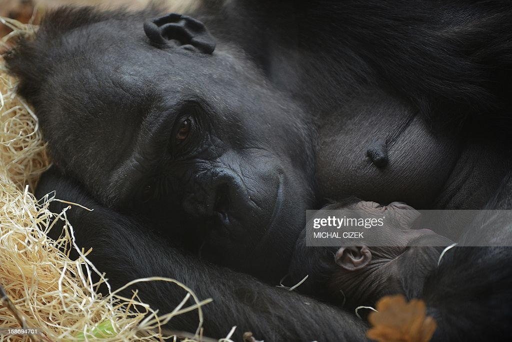 Kijivu, a western lowland gorilla, holds her two days old baby as they rest at the Zoo in Prague, December 24, 2012.