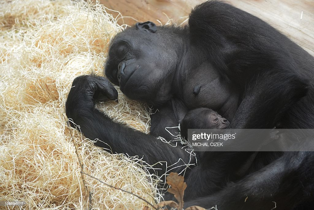 Kijivu, a western lowland gorilla, holds her two days old baby as they rest at the Zoo in Prague, December 24, 2012. AFP PHOTO / MICHAL CIZEK.