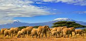 African elephants on a safari trip to Kenya and a snow capped Kilimanjaro mountain in Tanzania in the background, under blue cloudy skies.