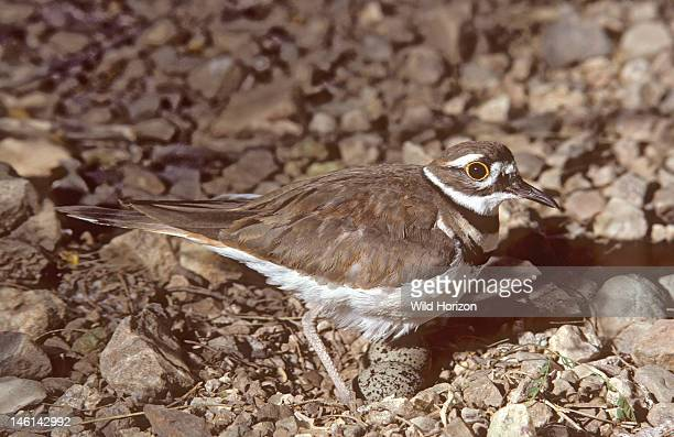 Killdeer at nest with two eggs on bare ground Charadrius vociferus ArizonaSonora Desert Museum Tucson Arizona USA Photographed under controlled...