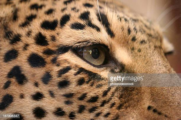 Killer look jaguar