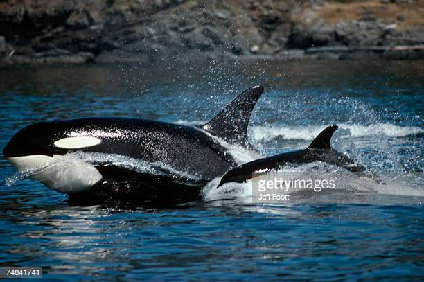 Killer whale adult and young porpoising. San Juan Island