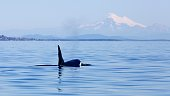 Transient male killer whale T011A with Mt Baker of Washington State in the background.