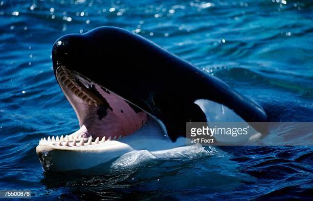 Killer whale (Orcinus orca) head