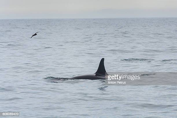 Killer Whale in the Pacific Ocean. Kamchatka, Russia