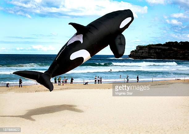 Killer whale kite balloon over bondi beach