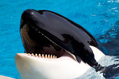 Lieer whale (Orcinus orca) opens mouth and waits for fish