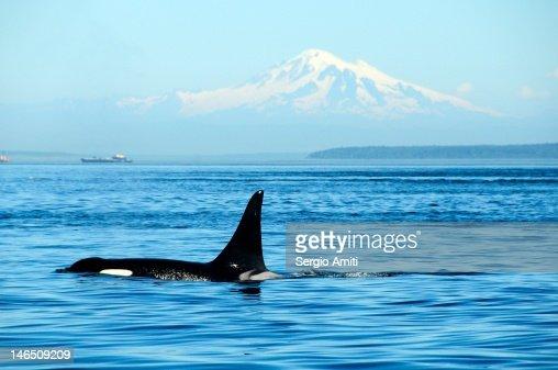 Killer whale : Stock Photo