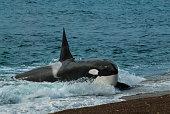 Killer Whale, hunting a sea lion pup, Peninsula Valdes, Patagonia Argentina
