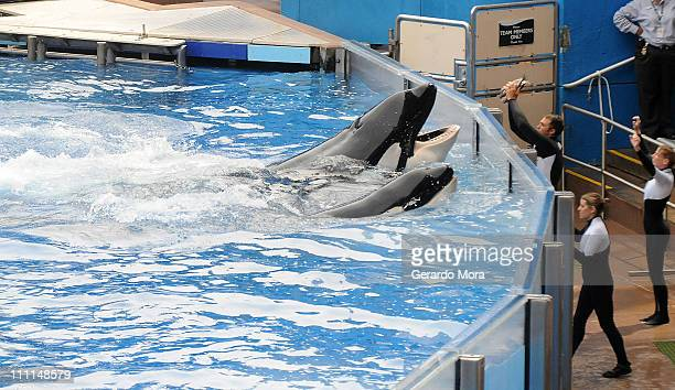 Killer whale 'Tilikum' appears during its performance in its show 'Believe' at Sea World on March 30 2011 in Orlando Florida 'Tilikum' is back to...
