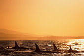 Killer whales (Orcinus orca), fins above water, sunset, Pacific Ocean