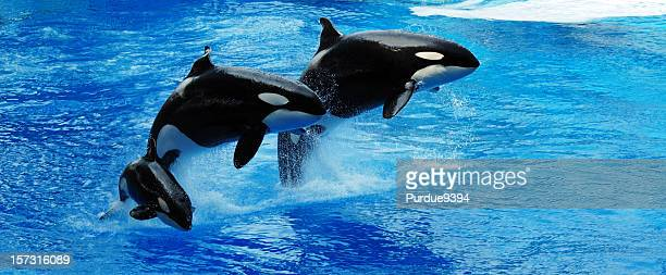 Killer Whales Jumping