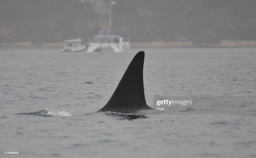 Killer whales surface about two kilometres offshore, on July 5, 2013 on Fraser Island, Australia. A pod of nine whales are being monitored as they swim north near Fraser Island where five were beached and two died after becoming stranded on Wednesday morning.