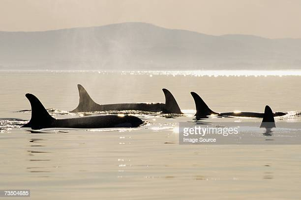Killer whales surfacing